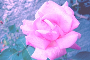 1380055_the_small_pink_rose