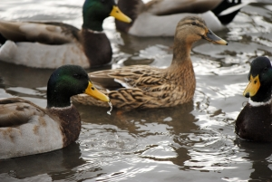 1246298_mallard_in_winter_sardinia_5